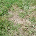 Managing Chinch Bug Infestations in Your Yard