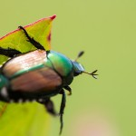 Keeping Japanese Beetles Out of Your Garden