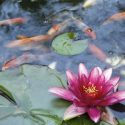 The Best Type of Fish for Your Backyard Pond